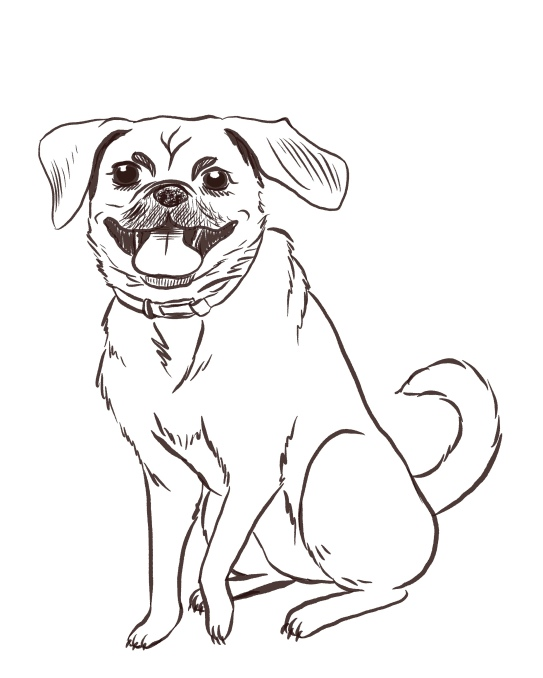A happy pug-mix with it's tongue out